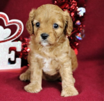 6 sweet  Beautiful Male and cavapoo  ready now