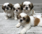 6 Beautiful Male and shih tzu ready now