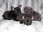 Quality  litter sweet fench bulldog puppies ready