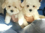 Pedigree maltese puppies looking for forever home