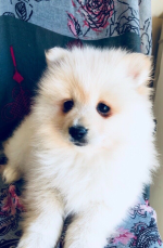 Toy Pomeranian Puppies