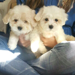 2 pedigree maltese boys looking for forever home